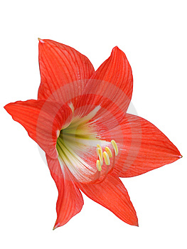Red Lily Isolated On White Royalty Free Stock Photo - Image: 13774885