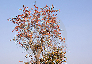 Flame Of Forest Tree Royalty Free Stock Photos - Image: 13774968
