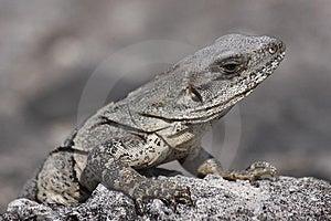 Iguana Reptile Stock Photography - Image: 13775752