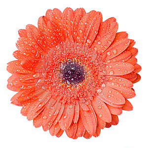 Macro Of Red Daisy-gerbera Head With Water Drops Royalty Free Stock Image - Image: 13778016