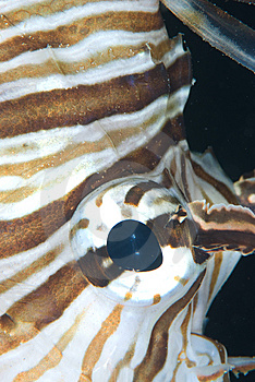 Eye Of A Lion Fish Royalty Free Stock Images - Image: 13778819