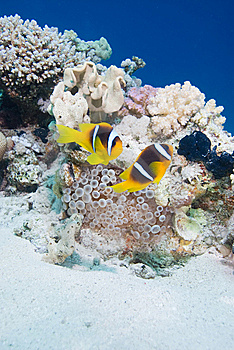 Anemone Fish Royalty Free Stock Images - Image: 13780289