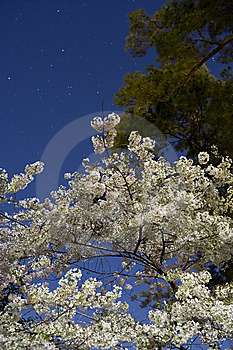 Cherry Blossoms Lit By Moon Light With Star Trails Royalty Free Stock Images - Image: 13783109
