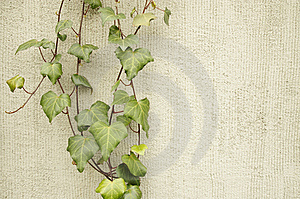 Ivy On A Wall Stock Images - Image: 13785344