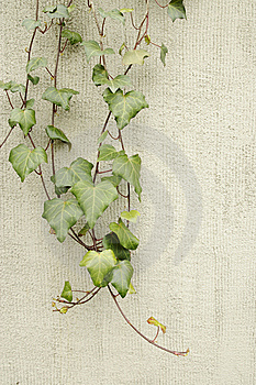 Ivy On A Wall Stock Photos - Image: 13785353