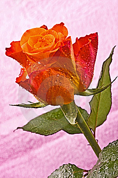 Orange Flower, Bright Rose Stock Photos - Image: 13787713