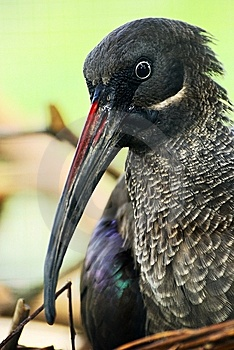 Hadeda Hadada Ibis Stock Photo - Image: 13793560