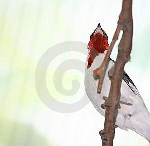 Pope Cardinal Bird Stock Image - Image: 13794701
