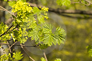 Young Sprout Of Maple Stock Images - Image: 13796714
