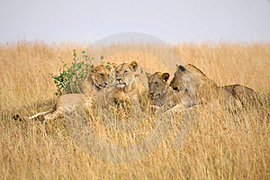 Female Lions Stock Images - Image: 13797364