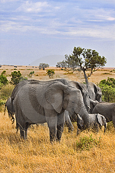 Group Of Elephants Stock Photography - Image: 13797392
