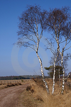 Birchtrees On A Dutch Moor Stock Images - Image: 1380424