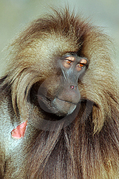 Gelada Baboon Stock Photography - Image: 13800662