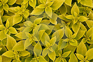 Area Bright Green Leaf Coleus Close-up Royalty Free Stock Images - Image: 13803179