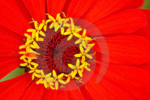 Stamens Of The Flower Zinnia  With Reds Leaves Stock Photos - Image: 13803563