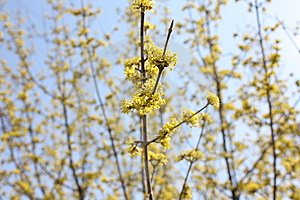 Spring Yellow Flower Tree Background Stock Photography - Image: 13804262