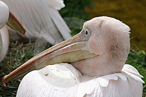 A Pelican Royalty Free Stock Photography - Image: 13804487