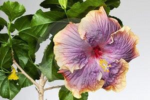 Hibiscus Gator Pride Royalty Free Stock Photography - Image: 13805727