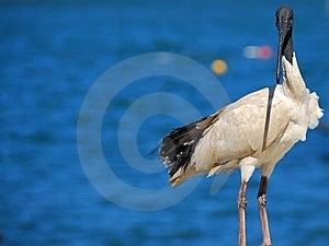 Australian White Ibis Sea Bird Royalty Free Stock Image - Image: 13807436