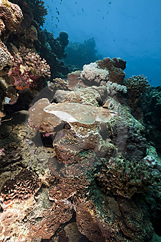 Leopard Torpedo Ray Stock Photos - Image: 13810263