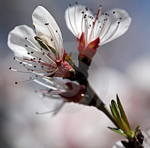 Blooming Rosaceae Prunus Royalty Free Stock Photography - Image: 13812897