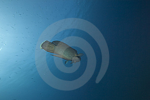 Napoleon Wrasse And Ocean Royalty Free Stock Photography - Image: 13813847