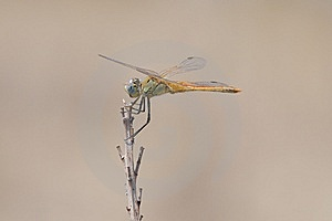 Dragonfly Royalty Free Stock Photography - Image: 13814227