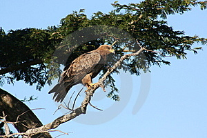 Tawny Hawk Stock Images - Image: 13814554