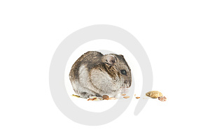 Hamster Isolated Stock Photos - Image: 13814573