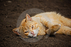 Orange Lazy Cat Royalty Free Stock Photo - Image: 13814725