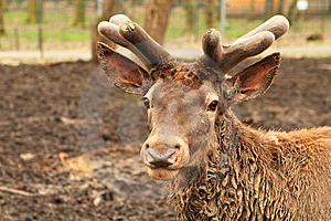 Zoo - Deer Portrait  Stock Images - Image: 13817284