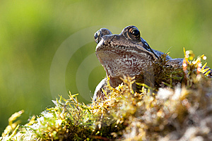 Frog In Moss Royalty Free Stock Photography - Image: 13821767