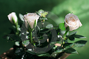 Gentle-pink Blooming Roses Stock Photography - Image: 13822542