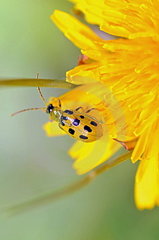 Spotted Beetle Royalty Free Stock Photo - Image: 13823005
