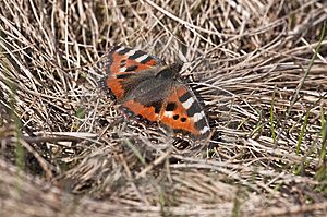 Little Fox - Aglais Urticae Stock Photography - Image: 13827752