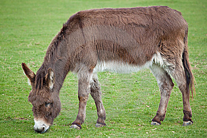 Donkey Grazing In A Field Royalty Free Stock Photos - Image: 13831788