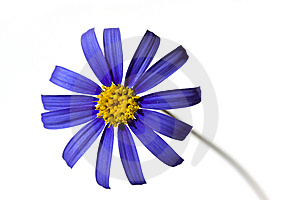 Violet Daisy In The Springtime,isolated On White Royalty Free Stock Images - Image: 13833239