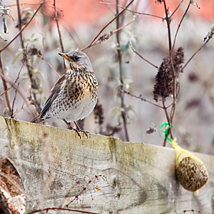 Fieldfare Bird Sitting On A Fence Royalty Free Stock Photography - Image: 13834257