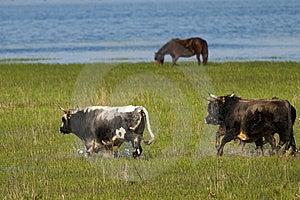 Bulls Running Through Flooded Land Royalty Free Stock Photo - Image: 13836465