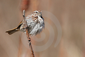 Song Sparrow Royalty Free Stock Image - Image: 13836816