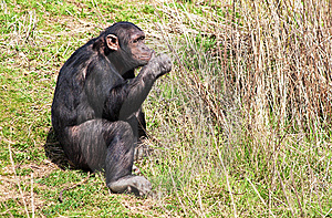 Chimpanzee Eating Fresh  Stems Royalty Free Stock Photography - Image: 13838917