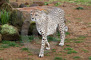 Beautiful Cheetah In A Rocky Field Stock Image - Image: 13838991