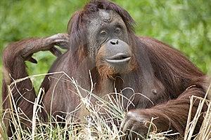 Orangutan Stock Image - Image: 13839151