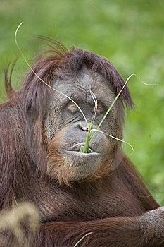 Orangutan Stock Photography - Image: 13839162