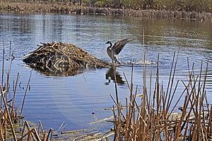 Goose Approaching Muskrat Lodge Stock Image - Image: 13839851