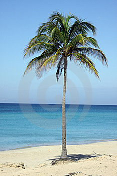 Single Coconut Palm Tree In The Beach, In Cuba Stock Photo - Image: 13840200