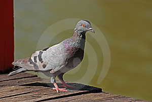 Pigeon Bird In The Parks Stock Photos - Image: 13842143