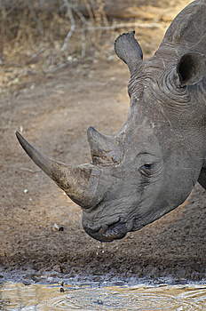 White Rhinoceros Drinking At The Water's Edge Royalty Free Stock Photography - Image: 13844647