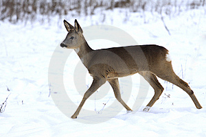 Fawn In Winter Royalty Free Stock Images - Image: 13845419