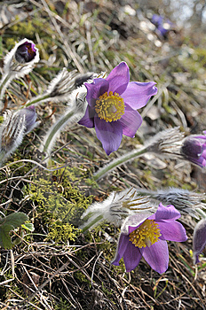The Pasque Flowers Early In  Morning. Royalty Free Stock Photo - Image: 13847215
